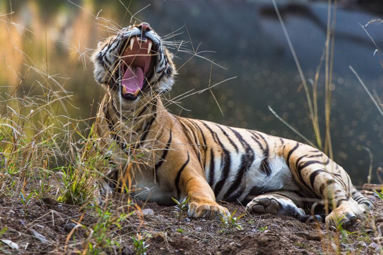 Tigersafari zu den Bengaltigern in Indien, Fotoreise