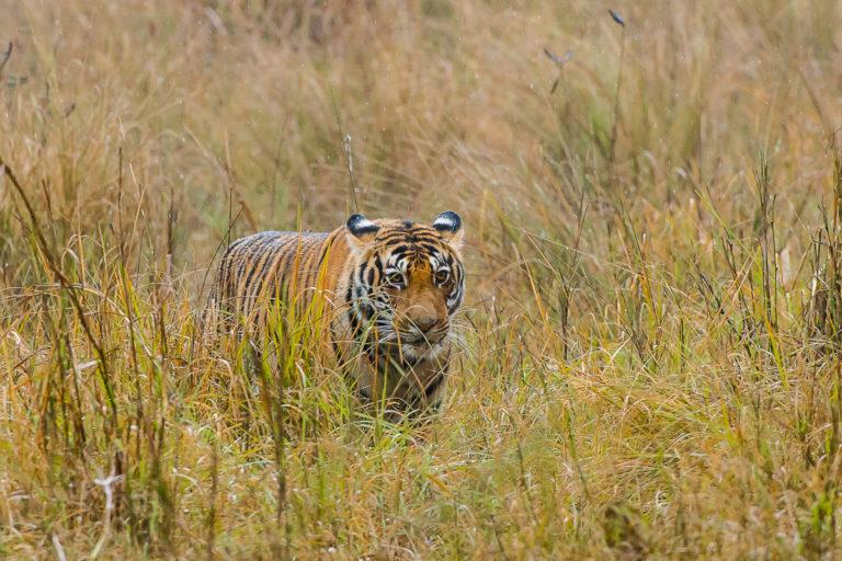 Tigersafari, Fotoreisezu den Bengaltigern in Bandhavgarh