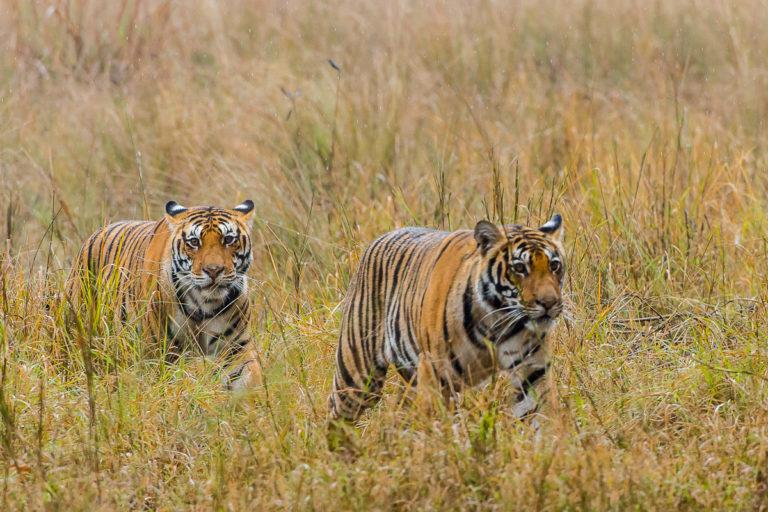 Fotoreisezu den Tigerbrüdern in Tadoba, Bengaltiger