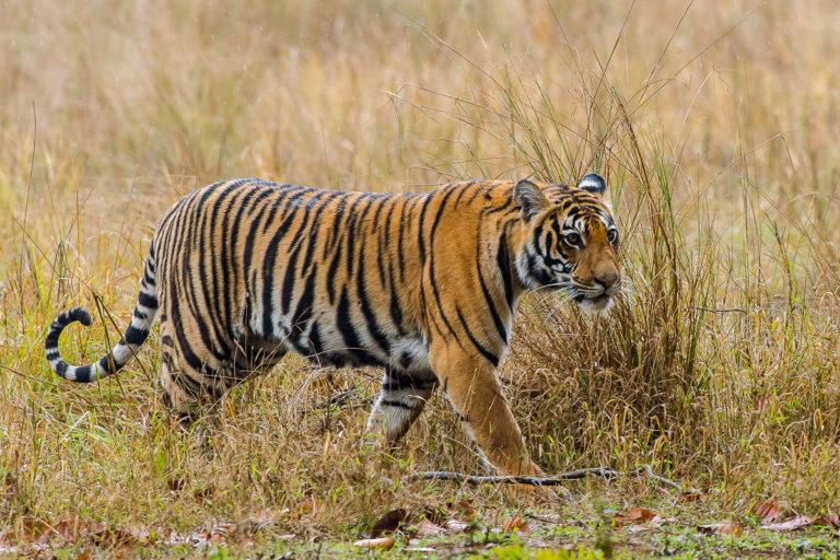 Fotoreise zu den Bengaltigern in Indien Bandhavgarh