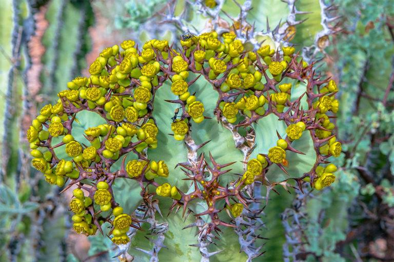 kaktusblueten namibia