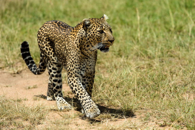 Fotoreise Kenia, Leopard, Masai Mara, Photofascination