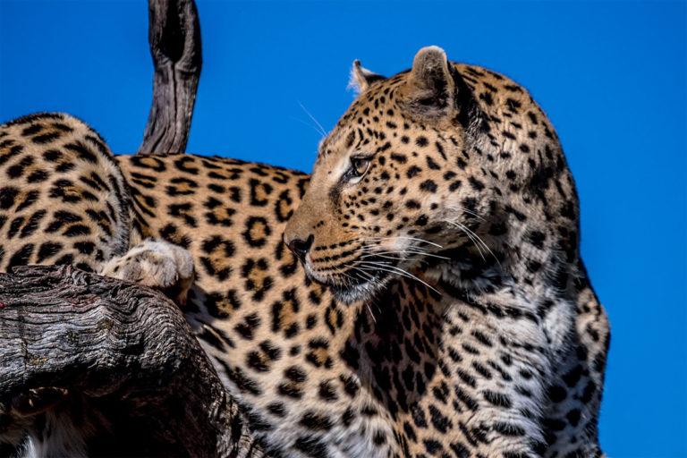 Leopard, Afrika, Fotoreise, Botswana