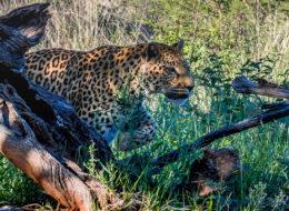leopard beim anschleichen okonjima namibia