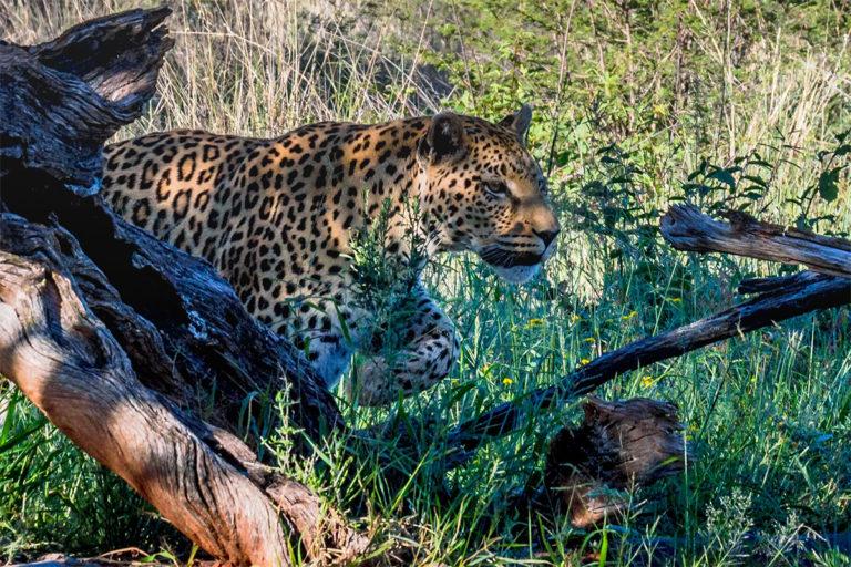 leopard beim anschleichen, Afrika, Botswana