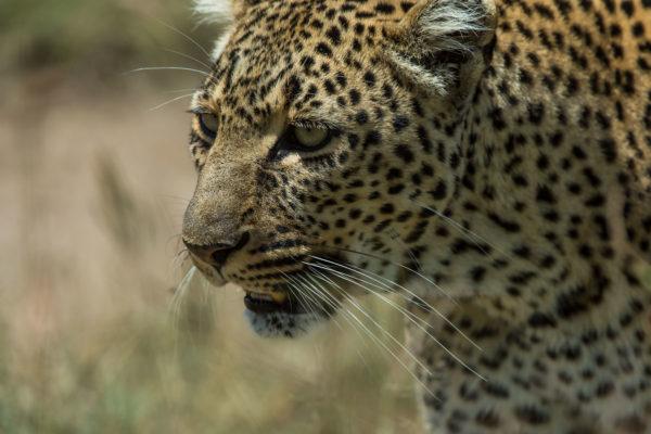 Fotoreise Kenia, Leopardin Nahaufnahme