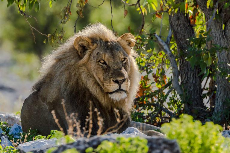 Fotoreise Botswana, Löwe, Männchen