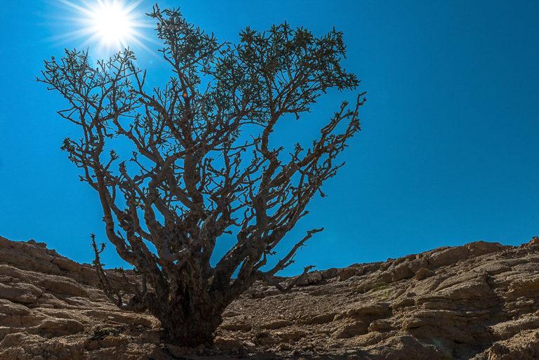 Oman, Weihrauchbaum, Weihrauch