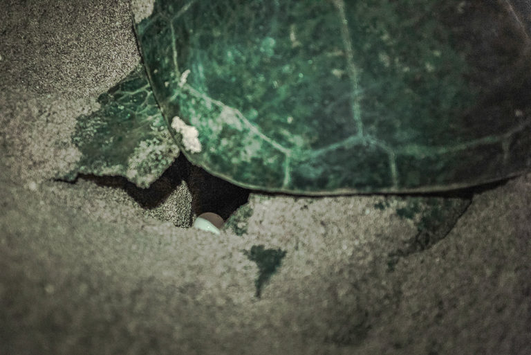 oman-ost grüne schildkröten