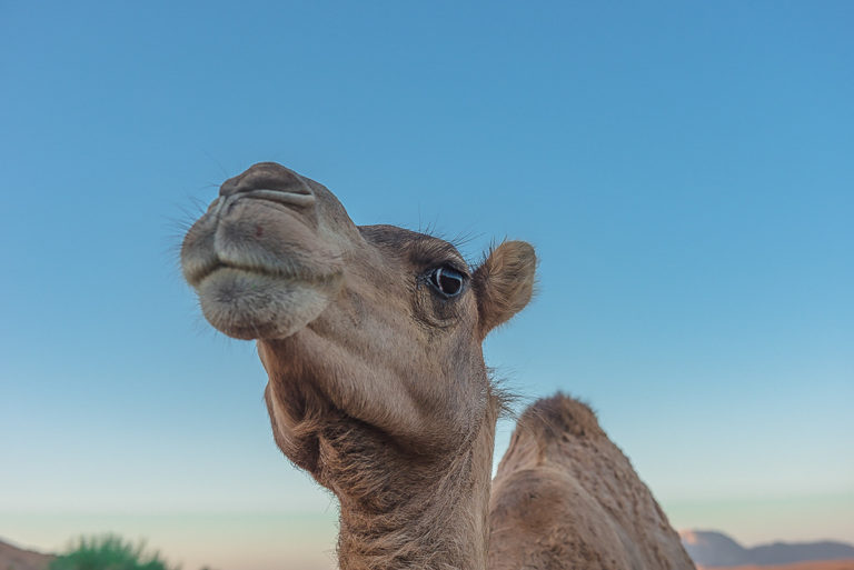 oman-kamel