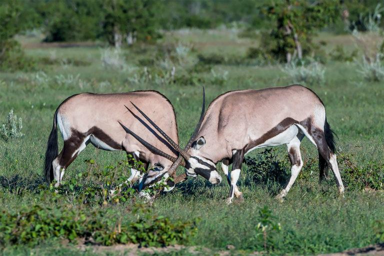 oryx antilopen namibia