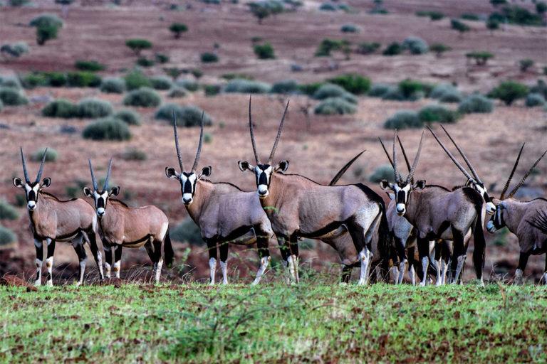 oryx antilopen palmwag namibia