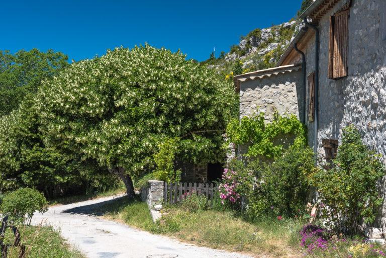 Provence Lindenblüten