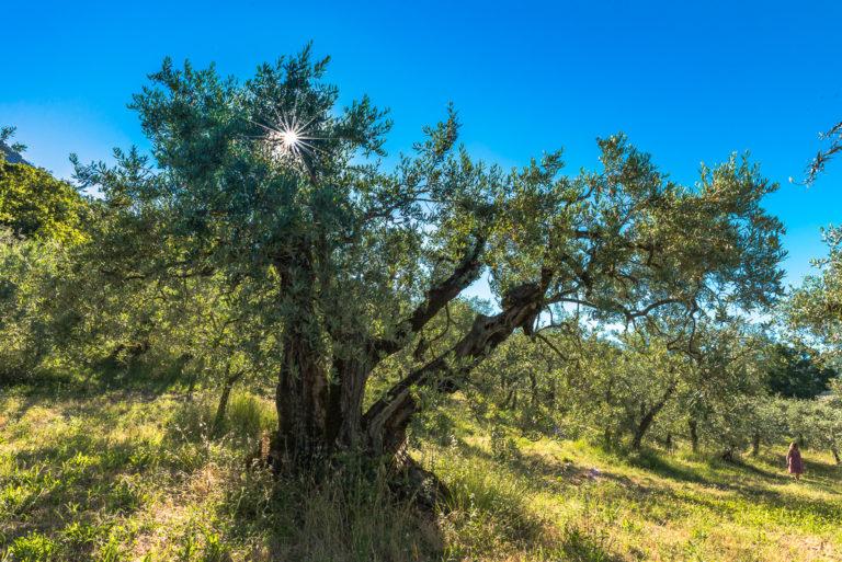 Provence- olivenbäume