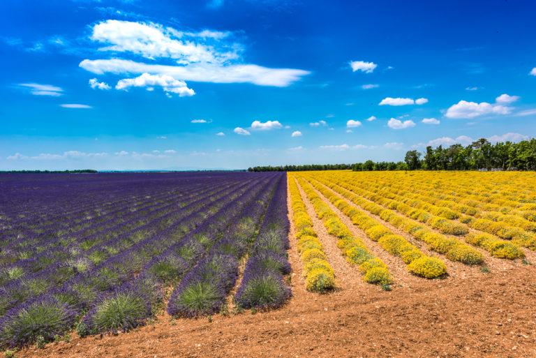 Provence lavendel