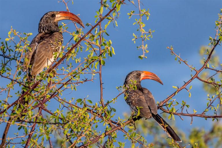 rotschnabeltoko namibia
