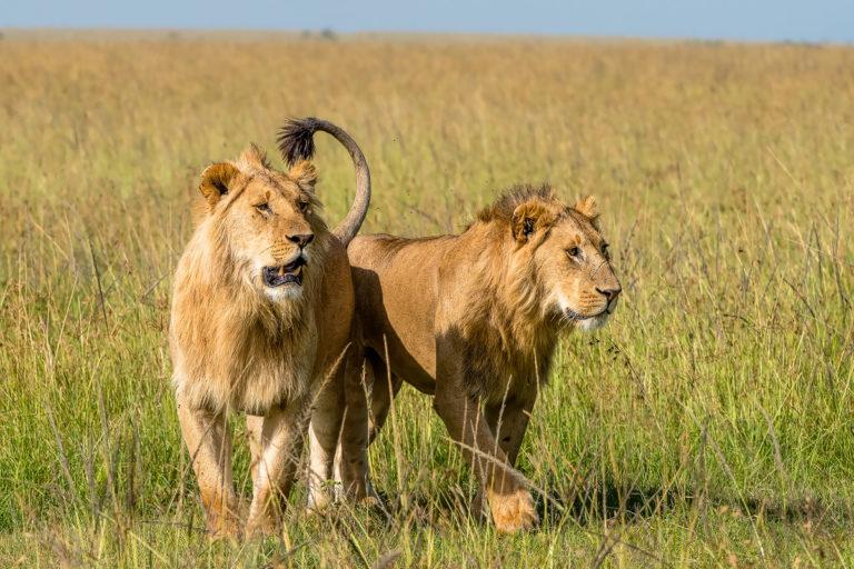 Fotoreise Kenia, Stalking Lions