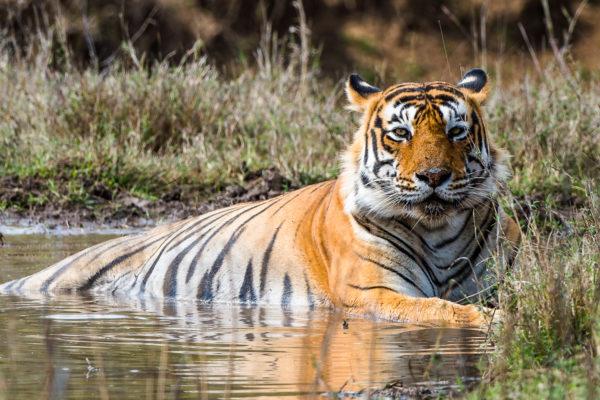 Fotoreise Bengaltiger, im Ranthambhore Park