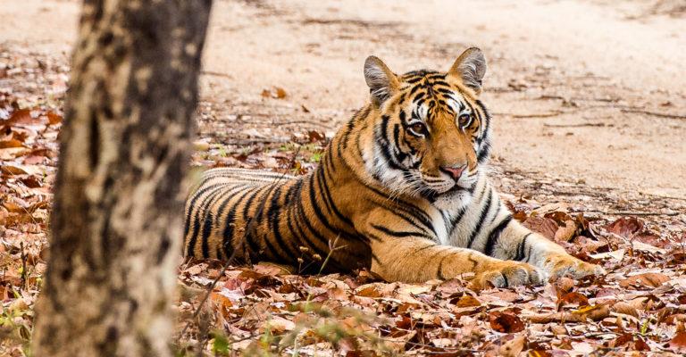 Fotoreise Bengaltiger in Bandhavhgarh