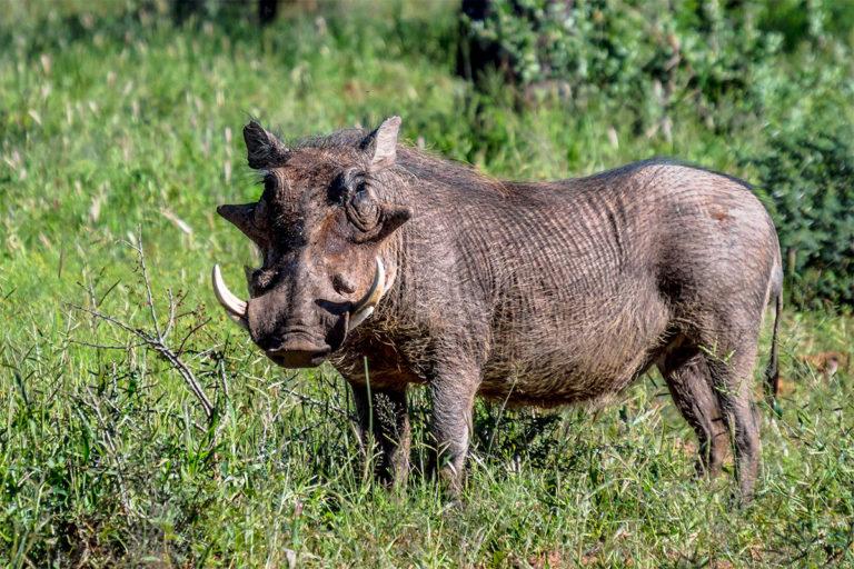 Fotoreise Botswana, Warzenschwein