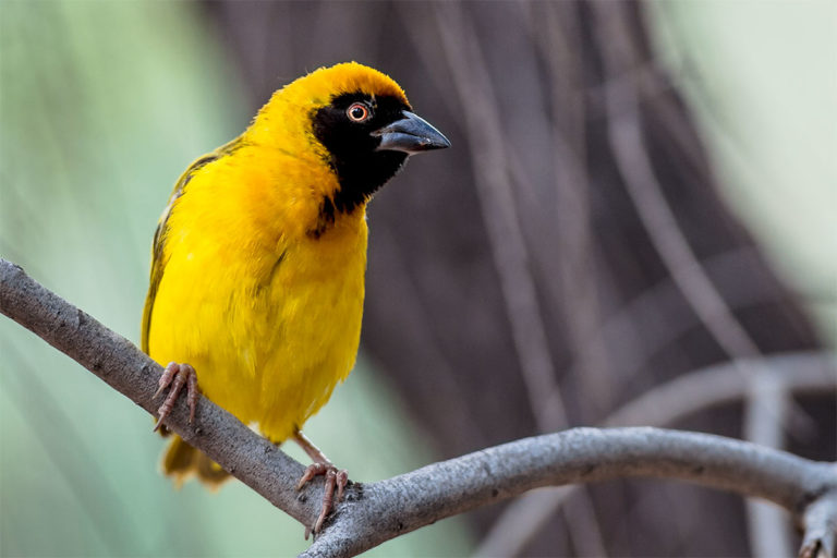 Webervogel, Fotoreise Uganda