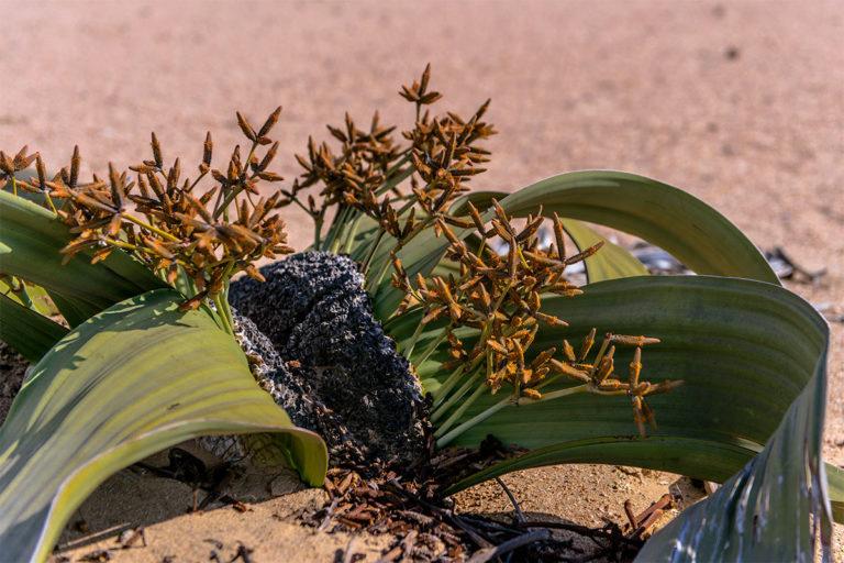 welwitschia namibia