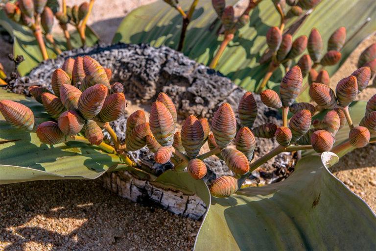 welwitschia samenkapseln namibia