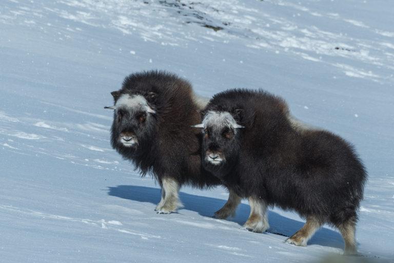Zwei junge Bullen im Schnee