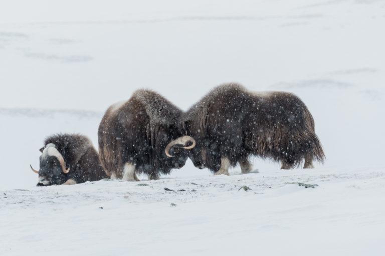 Kämpfende Moschusochsen im Winter in Norwegen