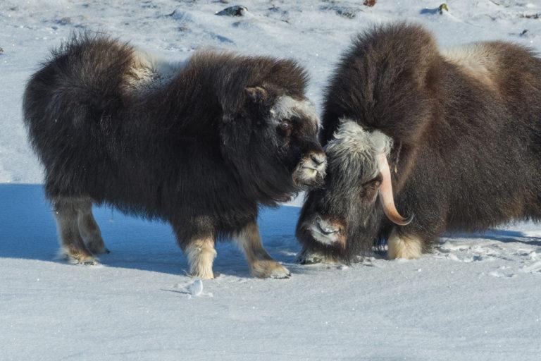 Baby spielt mit Mutter Moschusochse