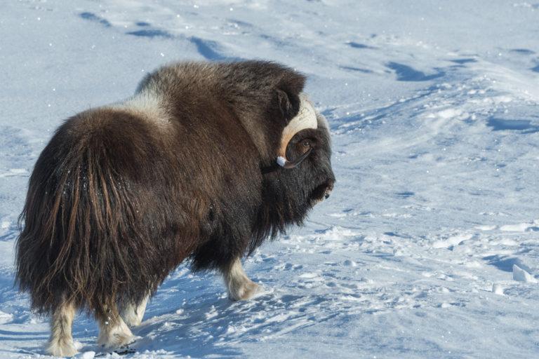 Moschusochse im tiefen Winter auf der Fotoreise