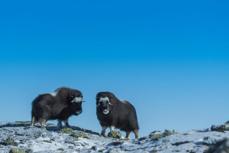 Junge Moschusochsen auf der Fotoreise im Dovrefjell
