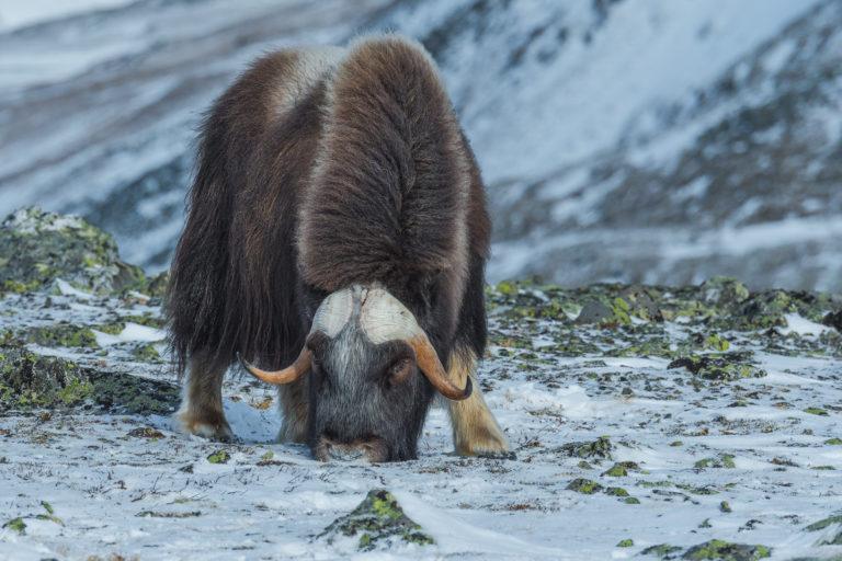 Moschusochse beim Fressen im Winter