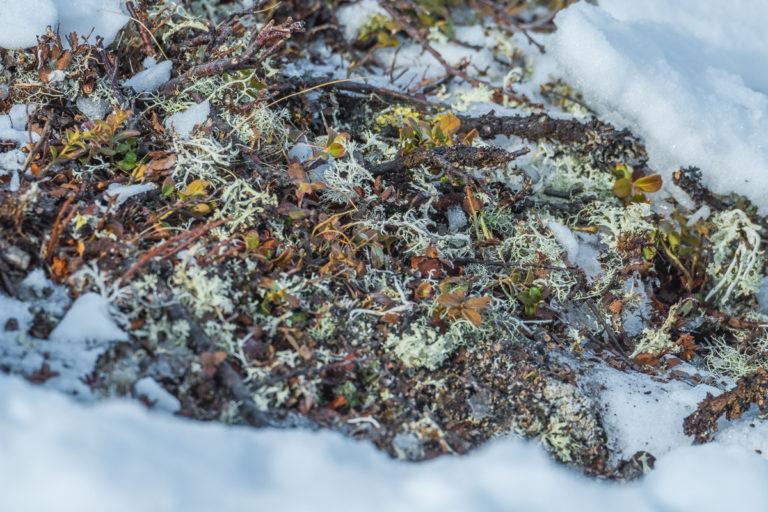 Isländisch Moos als Futter der Moschusochsen