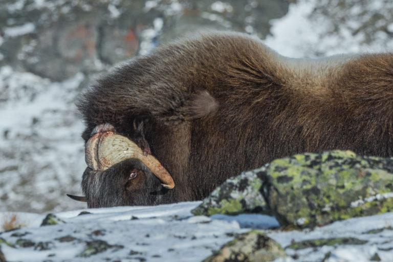 Anstrengende Futtersuche im gefrorenen Schnee und Boden