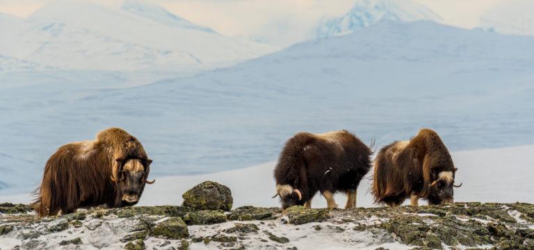 Lebensraum der Moschusochsen. Fotoreise Norwegen