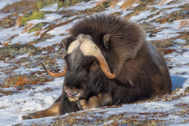 Moschusochse geniesst die Sonne auf der Fotoreise in Norwegen