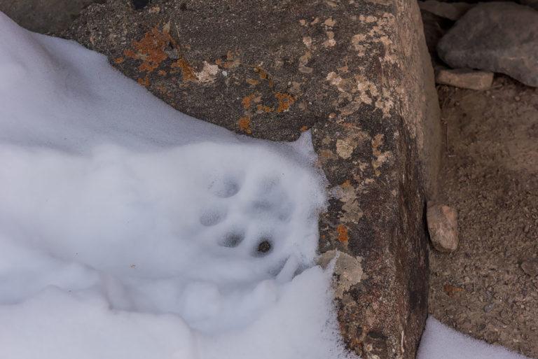 Schneeleoparden Fotoreise, Ladakh, Pfotenabdruck im Schnee