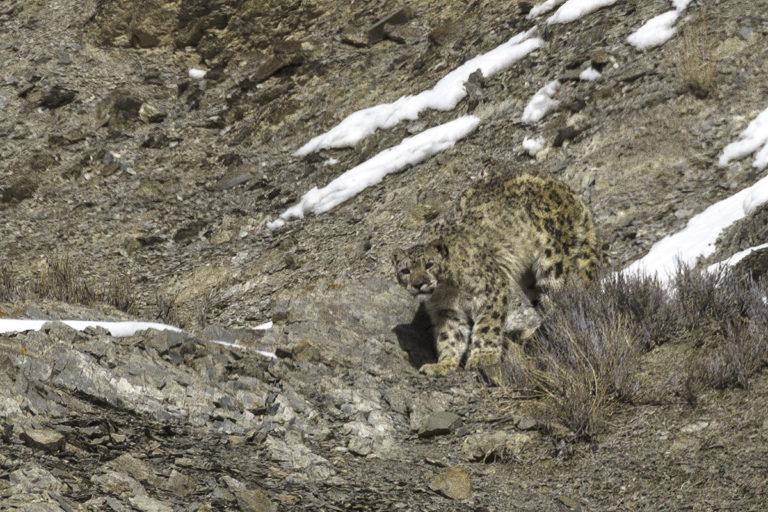Fotoreise zu den Schneeleoparden im Himalaya