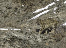 Schneeleopard macht Siesta, Rumbak Valley