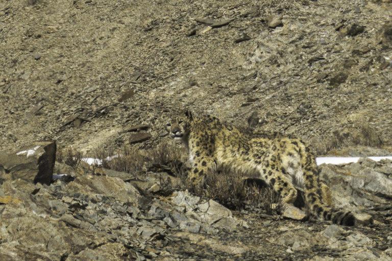 Fotoreise zu den Schneeleoparden in Ladakh, im Winter