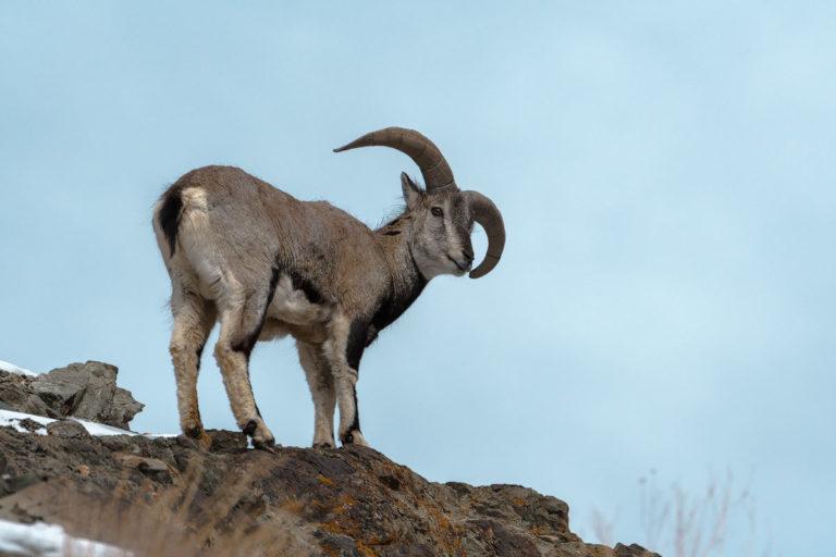 Fotoreise Schneeleoparden, Blauschaf, Blue Sheep