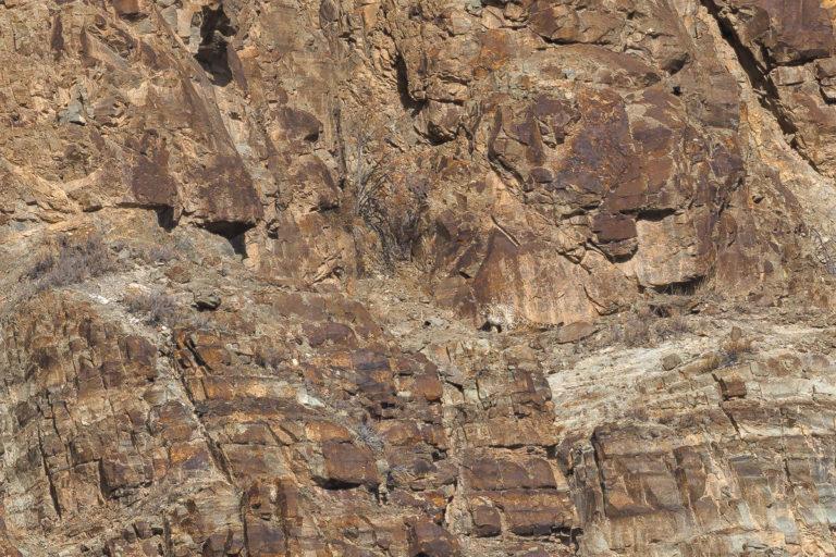 36 schneeleoparden ladakh