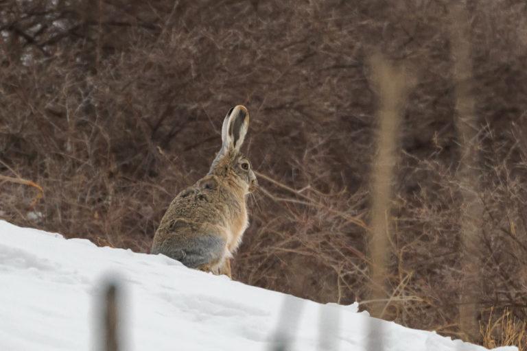 Berghase, Wooly Hare, Ladakh