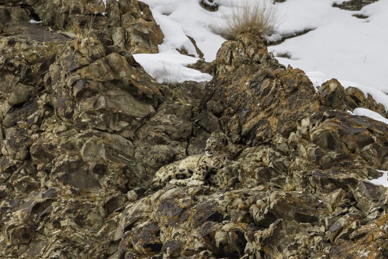 40 schneeleoparden ladakh