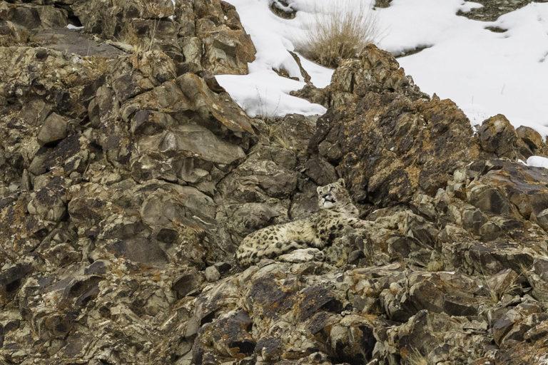 42 schneeleoparden ladakh