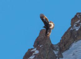 Steinadler, Golden Eagle im Flug