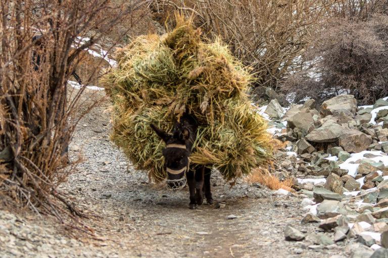 Schneeleoparden Ladakh, Futtertransport