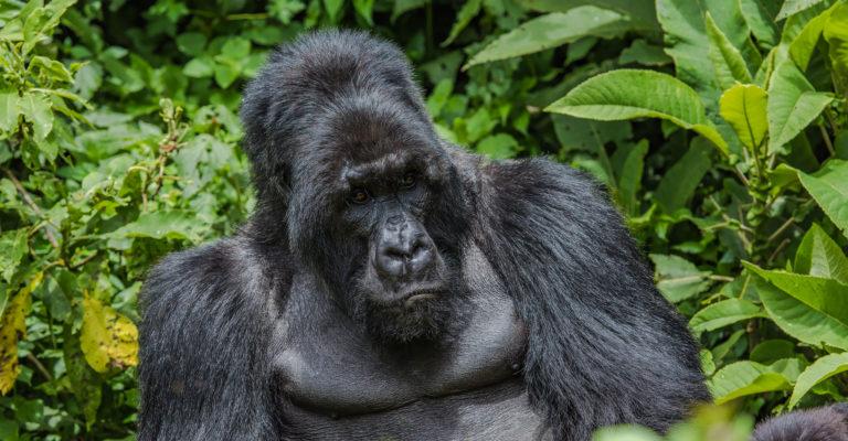 Fotoreise, Berggorilla in Uganda, Bwindi impenetrable Forest, Afrika