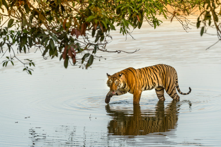 Fotoreise Bengaltiger, Indien, Tigerin, Arrowhead
